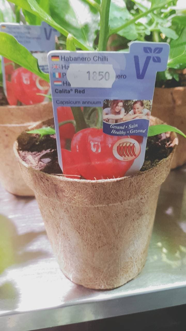 Biodegradable Pots for herbs and tomatoes