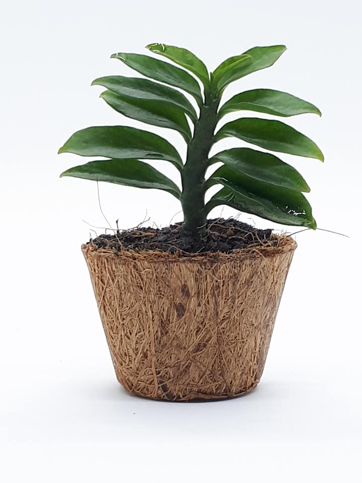 biodegradable small pots (Mini Pots) Wholesale
