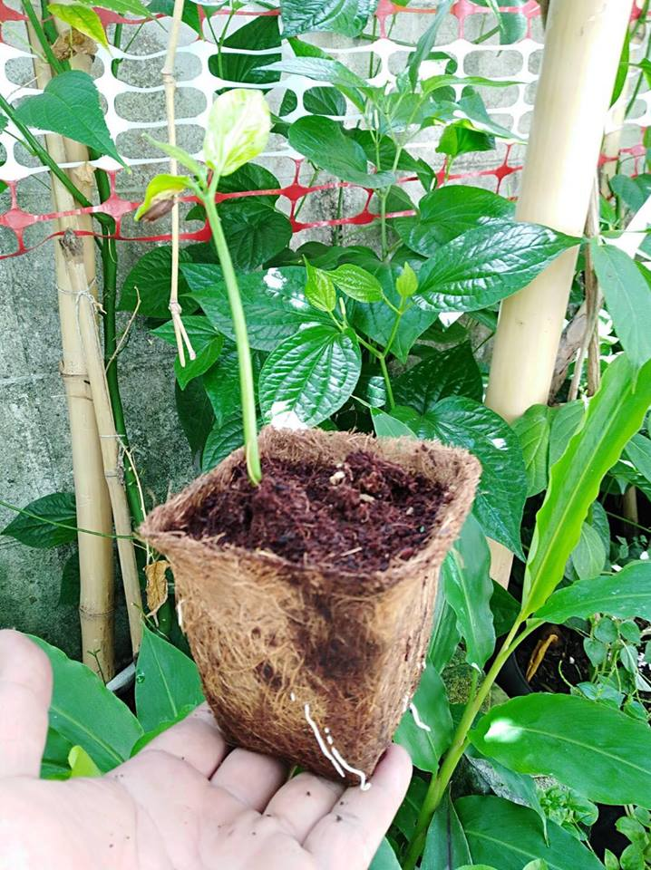 Biodegradable pots for seedlings