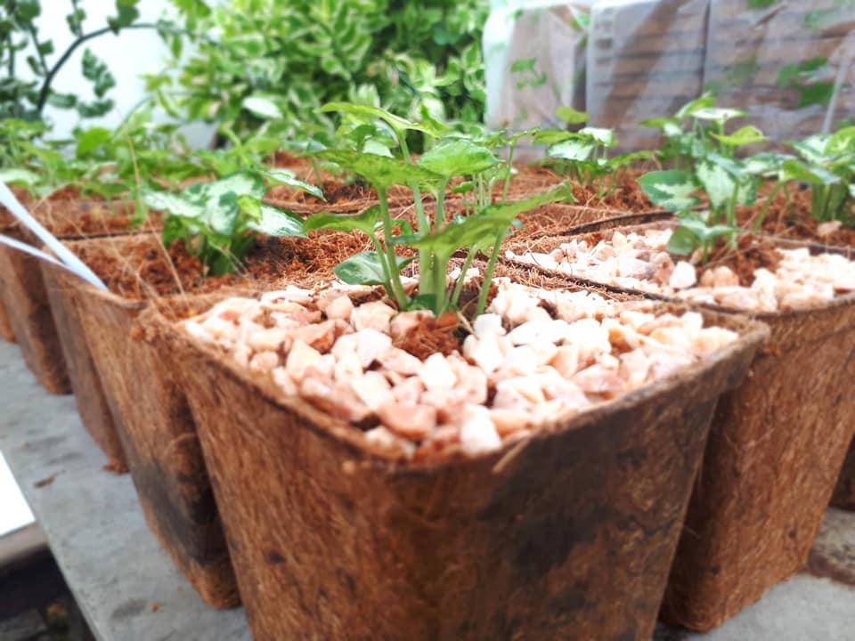 Biodegradable Nursery Pots Usage