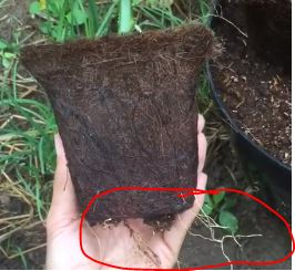 Biodegradable Pot Root Penetration – Video