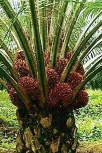 palm fiber