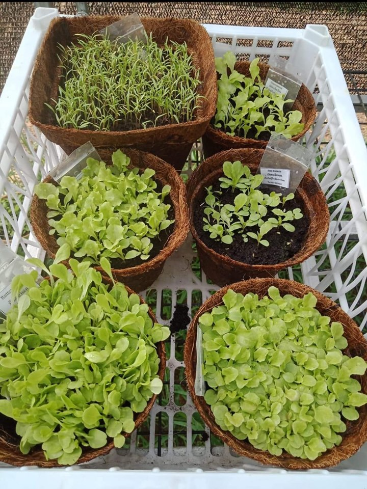 Herbs in biodegradable pots