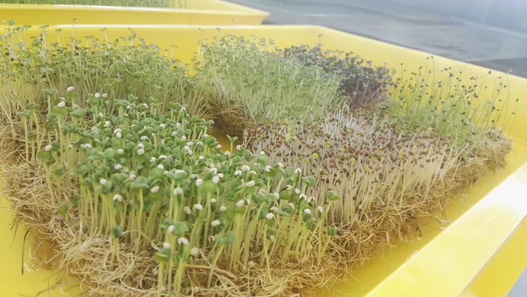 Hydroponic microgreen mats
