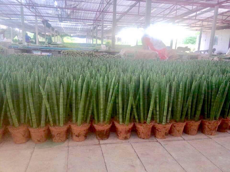 Aloe vera pot plant