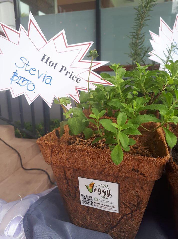 Stevia Plant Pot Natural